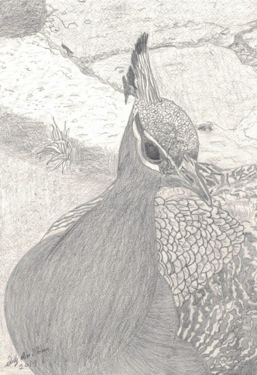 Sally Ann Glenn - Peacock at Cataract Gorge 1